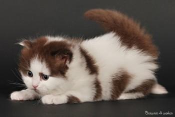 Smitten Kitten Cheesecake Brownie - Zo'n 3tal weken oud